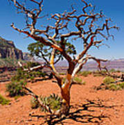 Tree At Cedar Ridge Poster