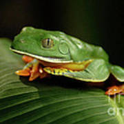 Tree Frog 1 Poster