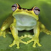 Tree Frog Hyla Rubracyla At Night Poster