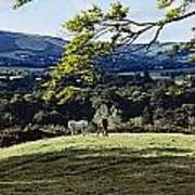 Tree In A Field, Great Sugar Loaf Poster