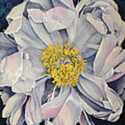 Tree Peony Poster by Yvonne Scott