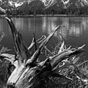 Tree Stump On The Shore Of Lewis Lake At Yellowstone Poster