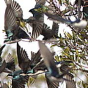 Tree Swallow Frenzy Poster