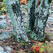 Tree Trio In Lichen At Hawn State Park Poster