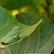 Treefrog Resting Poster