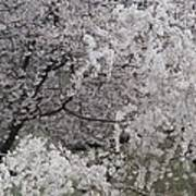 Trees Heavy With Cherry Blossoms Poster