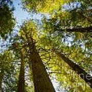 Trees Of Devoto Poster