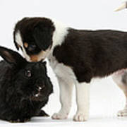 Tricolor Border Collie Pup With Black Poster