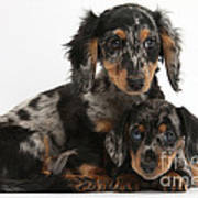 Tricolor Dachshund Puppies Poster