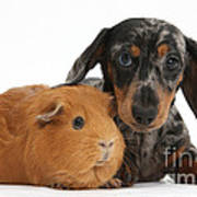 Tricolor Merle Dachshund Pup And Red Poster