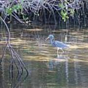 Tricolored Heron 1 Poster