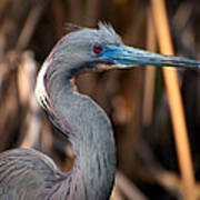 Tricolored Heron In Breeding Plumage Poster
