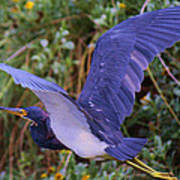 Tricolored Heron In Flight Poster