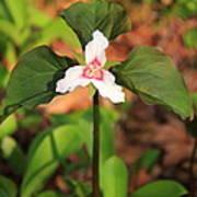 Trillium Wildflower Poster