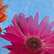 Triptych Gerbera Daisies-two Poster