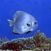 Tropical Fish Bat-fish Poster