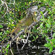 Tropical Iguana Poster