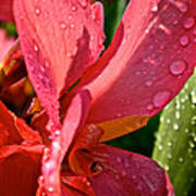 Tropical Rose Canna Lily Poster