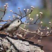 Tufted Titmouse - Bird - Color In Shadows Poster