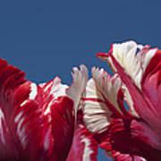 Tulip Estella Reinfeld Poster