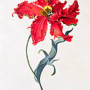 Tulip Perroquet Rouge Poster