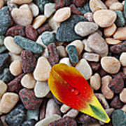 Tulip Petal And Wet Stones Poster