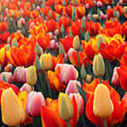 Tulip Sunset 2 Poster