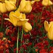 Tulip Sunshine Poster
