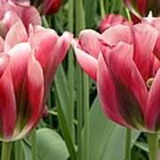 Tulipa Viridiflora 'adrian T Dominique' Poster