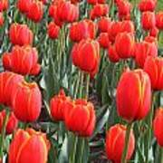 Tulips At Boston Public Garden Poster