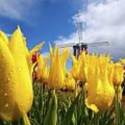 Tulips In A Field And A Windmill At Poster