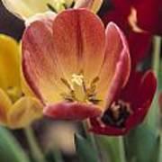 Tulips Poster by Juan  Silva