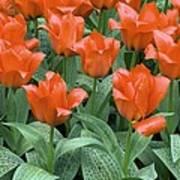 Tulips (tulipa Greigii 'grower's Pride') Poster