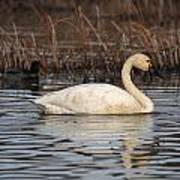 Tundra Swan Poster