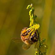 Tupelo Honey Poster
