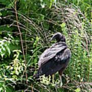 Black Vulture - Buzzard Poster