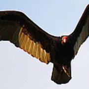 Turkey Vulture Evening Flight Poster