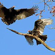 Turkey Vultures Poster