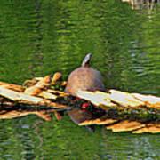 Turtle Sunbathing  Poster