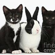 Tuxedo Kittens With Dutch Rabbit Poster