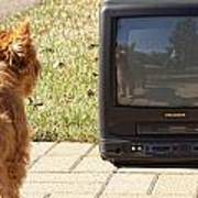 Tv Watching Dog Poster by Susan Stone