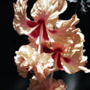 Twin Beauty Hibiscus Poster