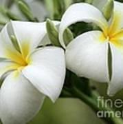 Twin Plumeria Flowers Poster