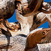 Twisted Bristlecone Pine Poster