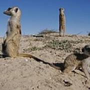 Two Adult Meerkats Suricata Suricatta Poster