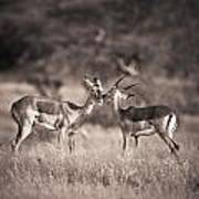 Two Antelopes Together In A Field Poster