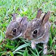 Two Baby Bunnies Poster