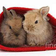 Two Baby Lionhead-cross Rabbits Poster