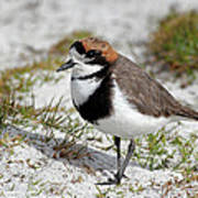 Two-banded Plover Charadrius Poster