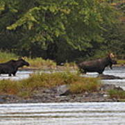 Two Bull Moose In Maine Poster